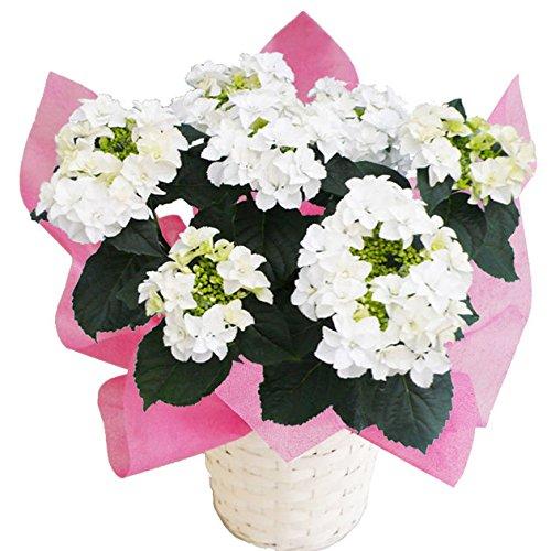 ナナ さかもと園芸 達人のあじさい 母の日 あじさい アジサイ 紫陽花 花鉢植え 花 ギフト プレゼント 贈答品