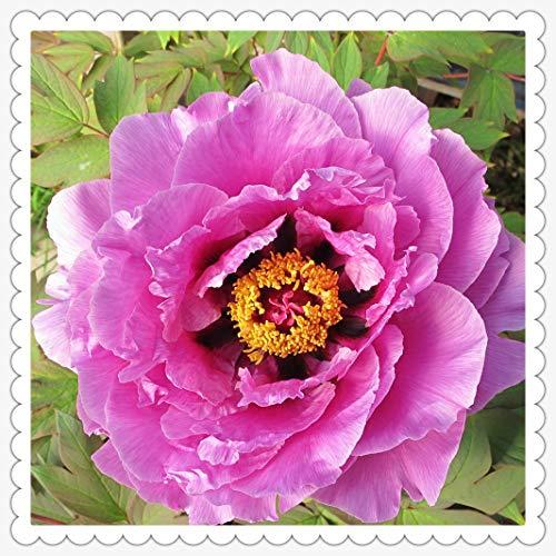 Peonías bulbo,Peonía rosa gran jardín de arbustos jardinería hermosas flores, que florecen en primavera, bonsai verde de regalo-20rizoma,3