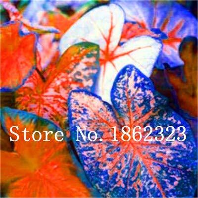 GEOPONICS SEEDS: Verkauf! 100 Stück Caladium Bonsai Caladium Blumen Bonsai Zimmerpflanzen Bonsai Colocasia Anlage für Hausgarten-Topfpflanze: 9