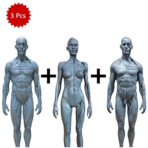WJH Escultura 30cm Resina Esqueleto Humano Modelo anatómico del cráneo Anatomía del Cuerpo del músculo del Estudio Kit Modelo Humano Dispositivo de Referencia para los Artistas (3 Piezas)