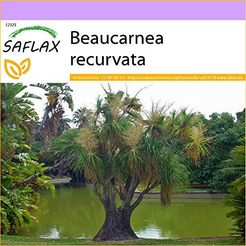 SAFLAX - Elefantenfuß/Flaschenbaum - 10 Samen - Beaucarnea recurvata