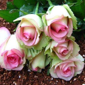 Générique Generic Rose Rose Rose Graines DIY Home Garden Dec