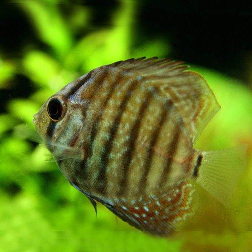 (熱帯魚)ブラウンディスカス(タイ産)(約4cm)<1匹>[生体]