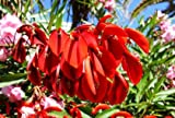 Indischer Korallenbaum Erythrina variegata 5 Samen
