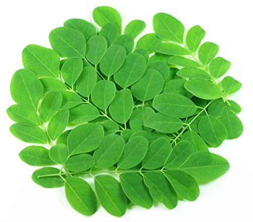 Asklepios-seeds® - 100 Samen Moringa Oleifera, Meerrettichbaum, sehr schnellwachsend