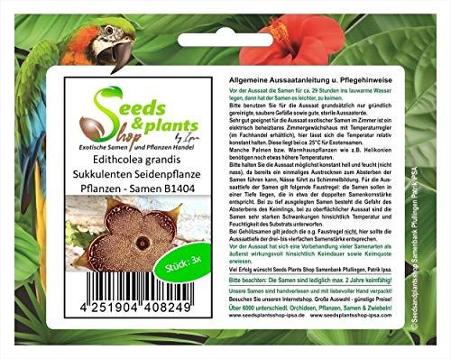 Stk - 3x Edithcolea grandis Sukkulenten Seidenpflanze Pflanzen - Samen B1404 - Seeds Plants Shop Samenbank Pfullingen Patrik Ipsa