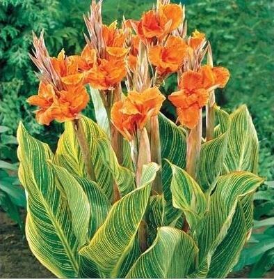 Canna Graines, diy plantes en pot, intérieur/extérieur Pot de germination Taux de 95% une variété de couleurs 20 Pcs/Sac J47 orange