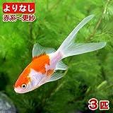 (国産金魚)よりなし(無選別)コメット 赤系~更紗(3匹)