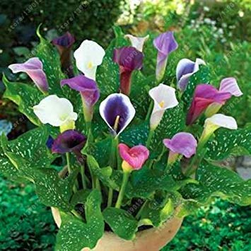 Vista Echte Calla-Lilienzwiebeln, Bonsai-Blumenzwiebeln Zantedeschia aethiopica (keine Calla-Liliensamen) Knollen-Wurzel-Blumentopf für den Garten 2 Stück 6