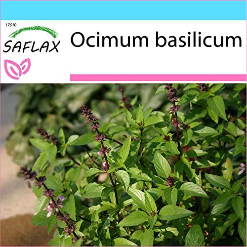 SAFLAX - Kit cadeau - Basilic thai - 200 graines - Ocimum basilicum
