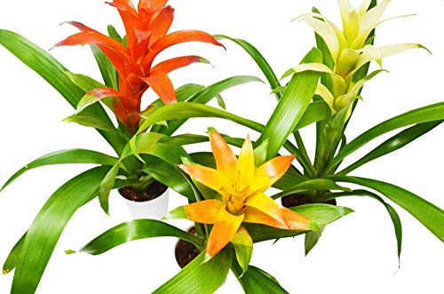 FERRY Bio-Saatgut Nicht nur Pflanzen: 3 Guzmania liads - - 1FT Tl - Free Pflegeanleitung - 4s