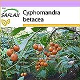 SAFLAX - Tomate de árbol - 50 semillas - Cyphomandra betacea