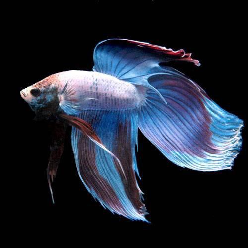 (熱帯魚)ベタ・トラディショナル マルチカラー(オス)(1匹) 本州・四国限定[生体]