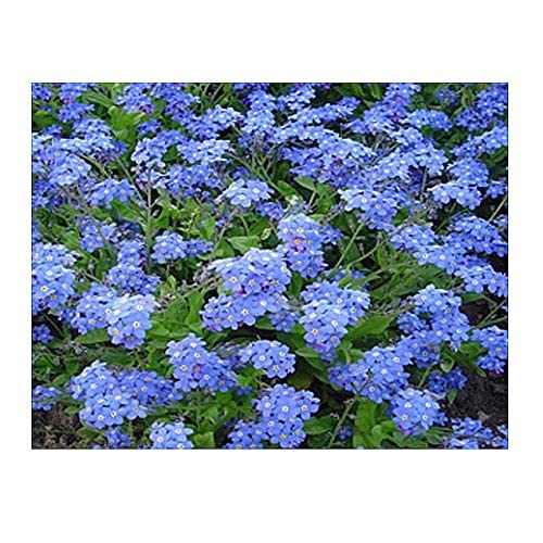 marde ross & company french forget me not seeds - approximately 5,000 seeds  of myosotis sylvatica
