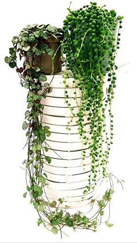 SENECIO ROWLEYANUS - Collar de perlas y ceropgia WOODII XXL, plantas auténticas