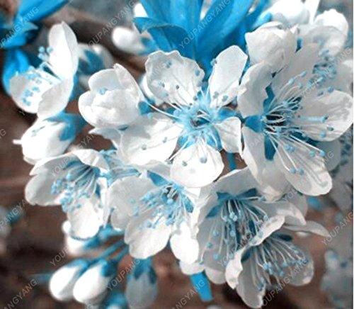 20PCS Rare ciel bleu blanc cerise Sakura Graines, Mini Bonsai Sakura Graines, belles plantes ornementales pour la plantation de jardin
