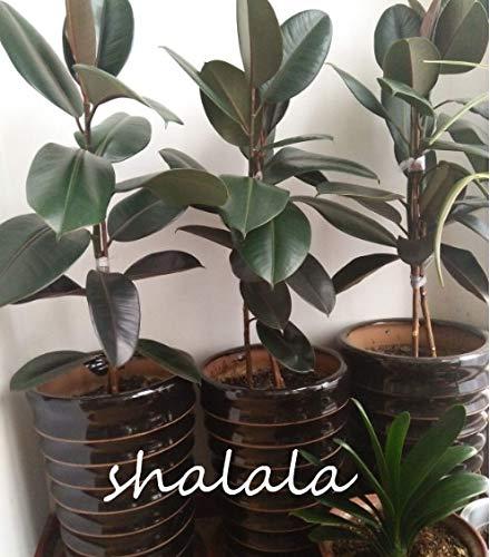 """Nuevos Ponak 50 unidades Ficus Elastica""""Decora"""" semillas de plantas para jardinería verde"""