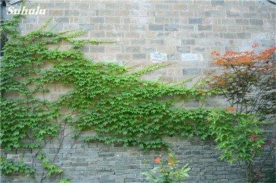 Mélanger Boston Seeds 100% vrai Parthenocissus tricuspidata semences Plantes d'extérieur QUASIMENT soins décoratifs Escalade usine 100 Pcs 8