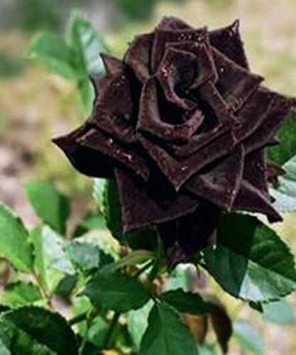 50 Graines Rose Noire - avec bord rouge, couleur rare, jardin de fleurs vivaces populaires Semences Bush ou Bonsai Fleur 3