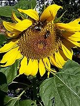 Sunflower Seeds - Big Smile - Helianthus Annuus