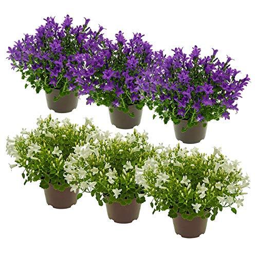Kölle Glockenblume 'Get Mee'®, 6er-Set, Campanula portenschlagiana, blau und weiß, Gesamthöhe ca. 15 cm