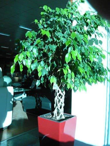Ficus benjamina - Birkenfeige - 25 Samen