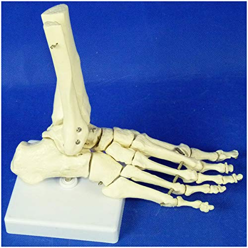 Menschlicher Fuß-Skelett-Modell - 1: 1 Menschlicher Fuß & Knöchel Skelett Modell Anatomie Spielzeug Educative Fuss-Verbindung Modell mit Ulna menschlichen Knöchel Modell für Studium Anzeige Lehre,a