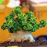 TENGGO Egrow 50Pcs/Pack Banyan Semillas Chinese Raro Ficus Microcarpa Tree Bonsai Ginseng Banyan Garden Tree al Aire Libre Maceteros