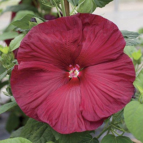 Park Seed Honeymoon Deep Red Hibiscus Seeds