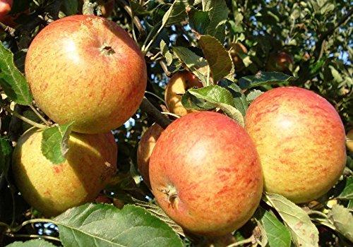 Terassenobstbaum Apfelbaum Malus dom. Cox Orange Apfelbaum mit Stammhöhe 40cm im Topf gewachsen
