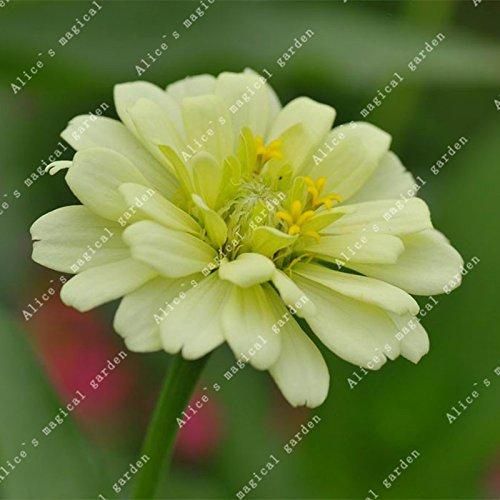ZLKING 100 pièces/paquet chinois Zinnia elegans herbe Bonsai Graines Chrysanthème Décorés Jardin Haute variétés végétales ont un parfum 7
