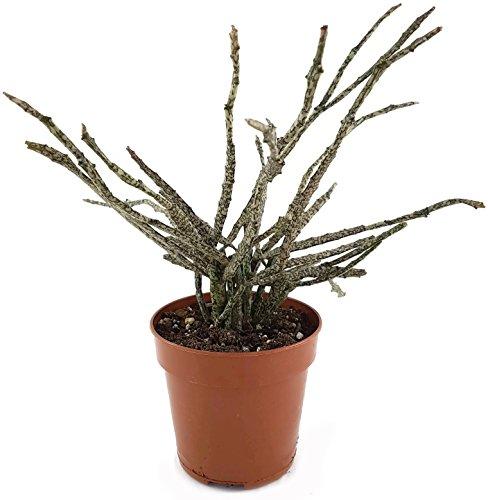 Euphorbia platyclada - seltene Euphorbie mit gefleckten Trieben - pflegeleichte Sukkulente/Zimmerpflanze für das helle Fensterbrett