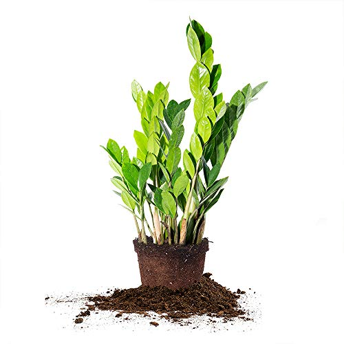 Perfect Plants ZZ Plant - 6 in. Growers Pot | Zamioculcas Zamiifolia | 17in Tall | Easy Care Houseplant | Perfect for Moderate to Bright Light Conditions (6 in Grower