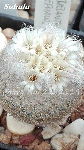 100 Pcs mixte vrai Cactus Seeds, Mini Cactus, Figuier, Graines Bonsai fleurs, vivaces herbes Plante en pot pour jardin 23