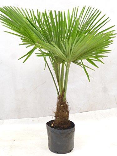[Palmenlager] Winterharte Palme -Trachycarpus fortunei- 110/130 cm - dicker Stamm 30 cm/Chinesische Hanfpalme - 17°C