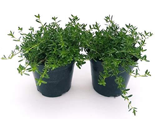 SANTOREGGIA 2 PIANTE, piante vere