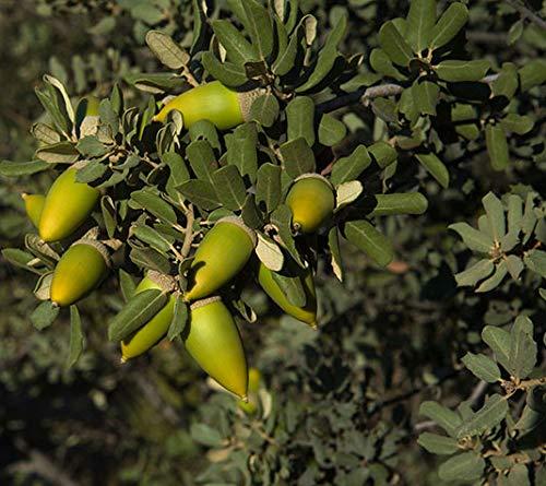 Encina - árbol de pequeño tamaño, perfecto para regalar (2)