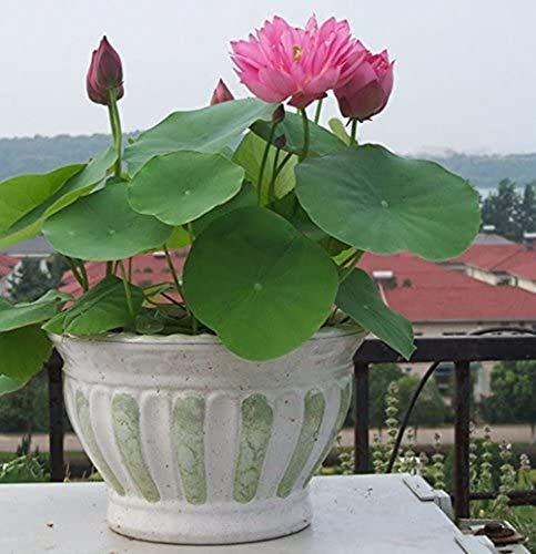 Lot de 30 mini graines de lotus pour bonsaï d'intérieur Couleurs variées
