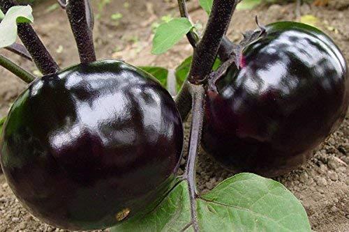 (Violet * Ambizu *) Solanum melongena, Graines Aubergine rondes, Violet Aubergine, environ 30 particules