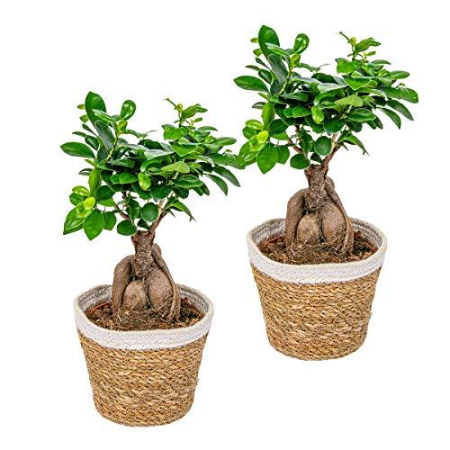 Bonsai Baum | Ficus \'Ginseng\' mit dekorativem Korb pro 2 Stück - Zimmerpflanze cm15 cm - 35 cm