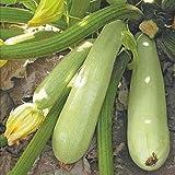 10 Semi di zucca - Zucchini Sangrum F1