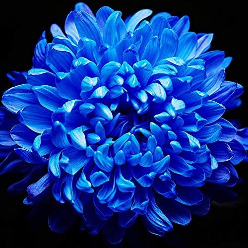 100pcs Chrysantheme Samen Elegante Royal Blau Heirloom Kräuter Blumen Zieht Schmetterlinge Und Bienen Einfach Zu Nehmen Pflege Von Hof Gartenarbeit Pflanzen