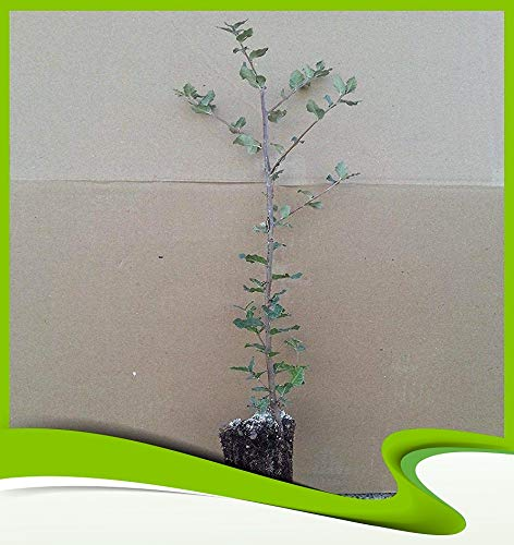 Quercus suber (sughero di quercia) – Pianta