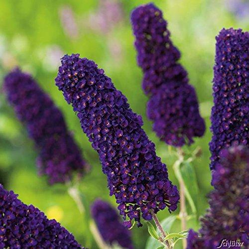Schmetterlingsflieder Black Knight - Sommerflieder (Buddleja) Pflanze in dunkel-violett, lila halbschattig und winterhart - Flieder-Strauch von Garten Schlüter