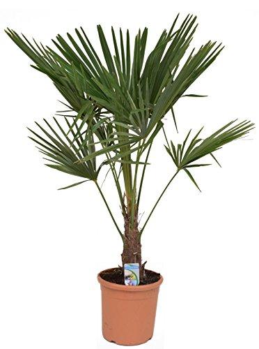 Chinesische Hanfpalme 120-140 cm Stamm 30-40 cm Trachycarpus fortunei