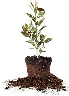 Perfect Plants Little Gem Magnolia Live Plant, 1-2', Includes Care Guide
