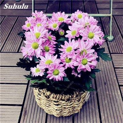 Grosses soldes! 50 Pcs Daisy Graines de fleurs crème glacée parfum de fleurs en pot Chrysanthemum jardin Décoration Bonsai Graines de fleurs 15