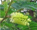 Seedeo Gelbe Seidenakazie (Albizzia lophanta) 40 Samen
