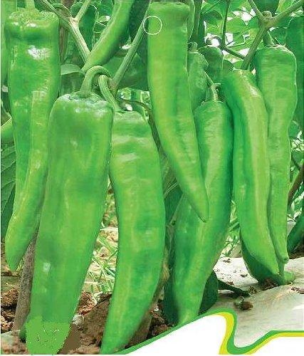 SD0151 vert Hot Pepper Graines de légumes, épices Piment Graines de légumes (30 graines)