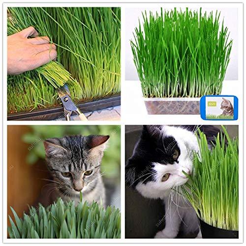 Gratis verzending 1000 stuks Cat Grass Bonsai bladplant Bonsai Wheat Grass muntgeur Superior kattenvoer voor uw huisdier gemakkelijk te kweken: 200pcs